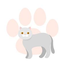 gray scottish cat exotic shorthair flat vector image