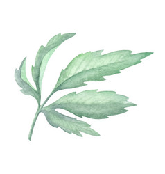 watercolor green leaf plant deocration on white vector image