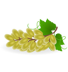 Grape isolated vector