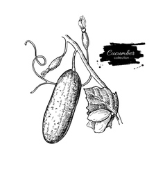 Cucumber plant hand drawn Vegetable vector image