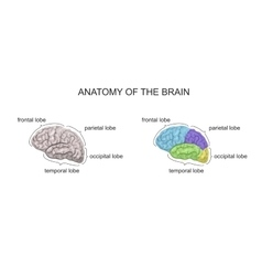 ANATOMY OF THE BRAIN vector