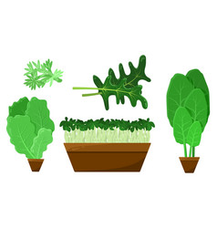 green salad leaves and roots collection vector image
