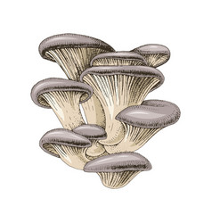 hand drawn oyster mushrooms vector image