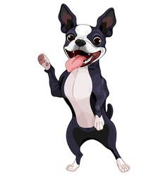 Boston Terrier standing vector image