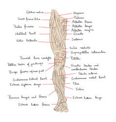 leg muscles front color vector image vector image