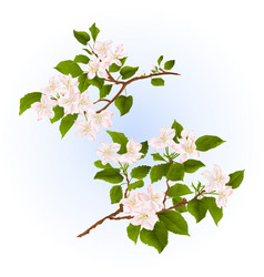 Branches of apple tree with flowers set two vector