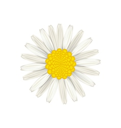 Camomile flower isolated on white background vector
