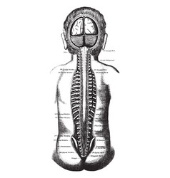 The position of the spinal cord and spinal nerves vector