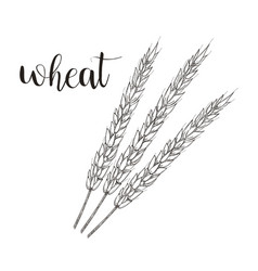 wheat sketch wheat hand vector image