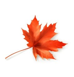Red maple leaf object vector image vector image