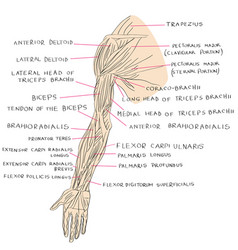 muscles of arm color vector image