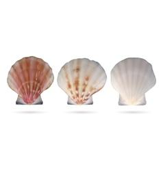 Scallop seashells vector image vector image