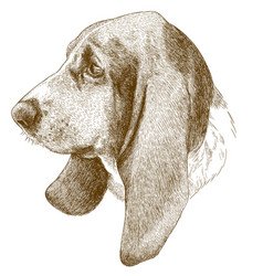 engraving antique of basset hound head vector image