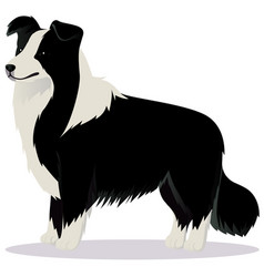 Border collie dog black and white vector