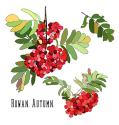 bunches red rowan berries with green leaves vector image