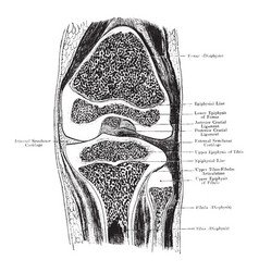 Frontal section through knee joint vintage vector