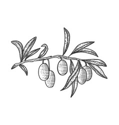 olive branch sketch engraving vector image
