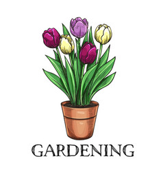 Tulips in a pot vector