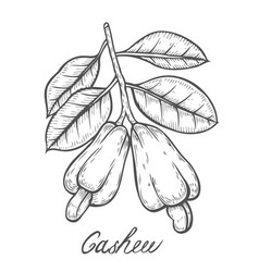 Cashew nut seed plant vector