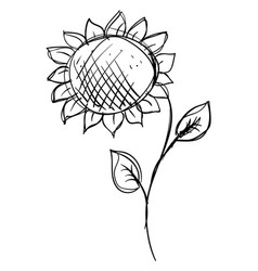 sunflower drawing on white background vector image