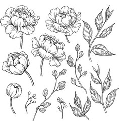Peony flower and leaves drawing hand drawn vector