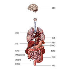 Human internal organs system hand drawn vector