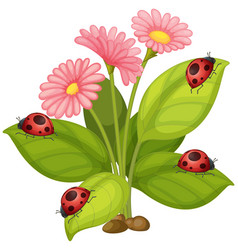 pink gerbera flowers and ladybugs on leaves vector image