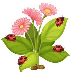 Pink gerbera flowers and ladybugs on leaves vector