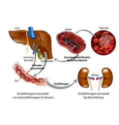 bilirubin metabolism vector image