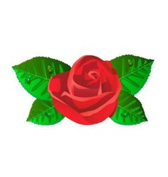 red rose flower with shiny green leaves vector image