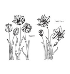 set tulip daffodils flower and leaf hand drawn vector image