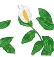 white spathiphyllum vector image
