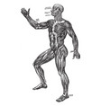 a diagram human muscular system vintage vector image vector image