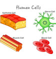 human cells epithelial muscle blood nerve cell
