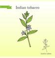 Indian tobacco lobelia inflata or asthma weed