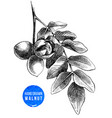 hand drawn branch of walnut vector image vector image