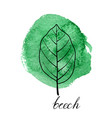 leaf of beech tree vector image vector image