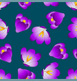 purple crocus flower on blue indigo background vector image vector image