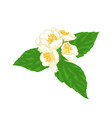 beautiful branch flower jasmine cartoon vector image