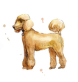 poodle in profile watercolor vector image vector image