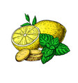 lemon mint and ginger drawing root hearb vector image vector image