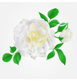 white rose with buds and leaves vintage vector image