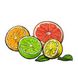 halves of orange grapefruit lime and lemon hand vector image vector image
