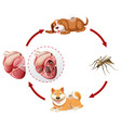 heartworm life cycle chart vector image vector image