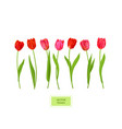 isolated tulips flowers element vector image vector image