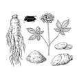 ginseng drawing medical plant sketch vector image