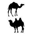 Two camels on a white background vector image vector image