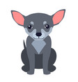 cute chihuahua dog cartoon flat icon vector image vector image