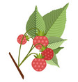 raspberries on stem with leaves flat icon vector image