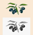 olive branch trees oil ingredient organic vector image